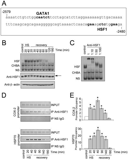 In vitro and in vivo binding of HSF1 to the COX-2 promoter. ( A ) Nucleotide sequence of the 100 bp (from −2579 to −2480) DNA fragment of the COX-2 promoter region including binding sites for the GATA and HSF1 transcription factors. The 100 bp fragment was amplified by PCR, 32 P-labeled and used as probe for gel-shift analysis shown in B and C . ( B ) HUVECs were subjected to heat shock at 43°C or left untreated (control). After 20 and 40 min at 43°C (HS) or at the indicated times during recovery at 37°C (recovery), whole-cell extracts were analyzed for HSF DNA-binding activity by EMSA in a 3% polyacrylamide gel using the probe described in ( A ). Position of HSF-DNA binding complex (HSF), constitutive HSE binding activity (CHBA) and non specific protein-DNA interactions (NS) are shown (upper panel). In parallel samples whole-cell extracts were analyzed for levels of HSF1 and <t>β-actin</t> proteins by Western blot (lower panels). Arrow indicates the position of the low-mobility phosphorylated HSF1 isoform. ( C ) Specificity of HSF1-DNA binding complexes. Whole-cell extracts from HUVECs subjected to heat shock at 43°C for 40 min were preincubated with different dilutions of anti-HSF1 polyclonal antibodies for 15 min before supershift assay. Position of HSF, CHBA and NS are indicated as in B . ( D,E ) HUVECs were subjected to heat shock at 43°C or left untreated (control). After 20 and 40 min at 43°C (HS) or at the indicated times during recovery at 37°C (recovery), recruitment of HSF1 to the COX-2 and HSP70 promoters was analyzed by ChIP assay. ( D ) ChIP-enriched DNAs using preimmune serum (IP NS <t>IgG)</t> or anti-HSF1 serum (IP anti-HSF1), as well as input DNAs (INPUT) were prepared, and DNA fragments of the COX-2 gene (−2629 to −2420) and HSP70 gene (−262 to −70) were amplified by PCR. ( E ) Quantification of ChIP assay shown in ( D ). Samples from at least three independent experiments were analyzed by real time PCR. Relative promoter occupancy is expressed as