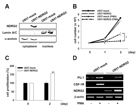 Overexpression of NDRG2 in U937 cells. (A) Cell lysates were fractionated into cytoplasmic and nuclear components. Western blotting using an anti-NDRG2 antibody was performed for each fraction. Lamin A/C and α-actinin were used as control for protein loading as well as marker proteins for nuclear and cytoplasmic fraction, respectively. (B, C) U937-mock and U937-NDRG2 cells were treated with 0.1 µg/ml PMA for 48 h. Cell viability was determined using either the trypan blue exclusion assay (B) or the <t>CCK-8</t> assay (C). The results represent the means±SD of duplicates. * p
