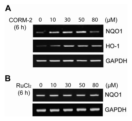 Dose-dependent NQO1 mRNA induction by exogenous CO. (A, B) HepG2 cells were treated with various concentrations of CORM-2 as exogenous CO donor or Rucl2 as control for 6 h and the cells were harvested for semi-quantitative RT-PCR. The mRNA expression of NQO1 was determined by semi-quantitative RT-PCR. GAPDH was used as internal controls.