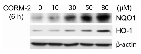 Effects of exogenous CO on the NQO1 and HO-1 protein induction. HepG2 cells were treated with various concentrations of CORM-2 as exogenous CO donor for 6 h and the cell lysates were used for immunoblot with antibody against NQO1, HO-1, and β-actin.