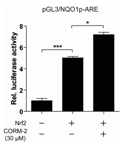 Effects of CORM-2 on Nrf2-mediated NQO1 promoter activity. HepG2 cells were co-transfected with pGL3/NQO1p-ARE and pcDNA3-Nrf2. After 24 h, cells were treated with 30 uM CORM-2 and at 6 h post-treatment, luciferase activity was determined. The levels of firefly luciferase activity were normalized to the Renilla luciferase activity. The relative luciferase activities are presented as a fold increase over no-treated cells. Each bar represents the mean±S.D. of three independent experiments ( * p