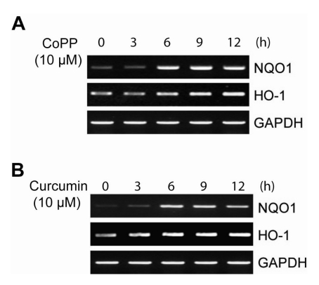 Effects of CoPP and curcumin on NQO1 expression. (A, B) HepG2 cells were treated with 10 µM CoPP and 10 µM curcumin for the indicated time period. Total RNA were extracted and expression of NQO1 and GAPDH mRNA was detected by semiquantitative RT-PCR.