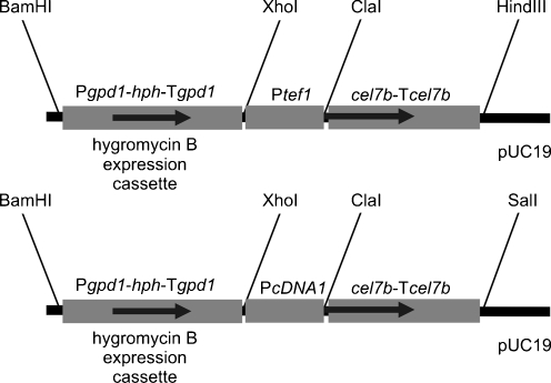 Expression plasmids for cellulase production. Schematic presentation of the two cellulase expression plasmids used in this study. Both plasmids contain the <t>hygromycin</t> B expression cassette as fungal selection marker followed by either the tef1 or the cDNA1 promoter region and the coding and terminator region of the respective cellulase gene (e.g., the endoglucanase encoding gene cel7b )