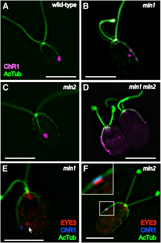 ChR1 photoreceptor localization and eyespot layers are altered in min1 but not min2 . (A–D) Combined immunofluorescence micrographs of fixed cells stained for channelrhodopsin-1 (ChR1, magenta) and acetylated α-tubulin (AcTub, green). (A) Wild-type cell with a ChR1 patch associated with the D4 microtubule rootlet. (B) ChR1 staining in min1 cells appears as multiple, distinct spots or stripes along the D4 rootlet, occasionally appearing in off-rootlet spots. (C) The shape and position of the ChR1 patch on the D4 rootlet are maintained in min2 mutant cells. (D) min1 min2 cells, showing ChR1 staining in multiple spots along the D4 rootlet. (E–F) Combined immunofluorescence micrographs of fixed cells stained for the pigment granule marker EYE3 (red), ChR1 (blue), and AcTub (green). (E) Pigment granules (arrow) are not apposed to the plasma membrane-localized photoreceptor spots in photoautotrophically grown min1 cells. (F) Organization of eyespot layers is unaffected in min2 cells, with ChR1 directly overlaying EYE3 staining (inset). Scale bars, 5 μm.