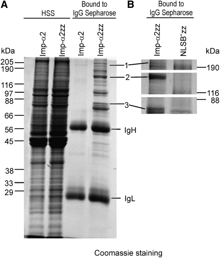 Isolation of Drosophila ovarian proteins specifically associated with the NLSB domain of Imp-α2. Proteins were extracted from ovaries of transformed flies producing zz-tagged Imp-α2 (Imp-α2zz) or zz-tagged NLSB − Imp-α2 (NLSB − zz). (A) SDS-polyacrylamide gel stained with Coomassie Blue for proteins from high-speed supernatants (HSS) of control and Imp-α2zz extracts (left two lanes). The proteins show equal distribution in both extracts. The HSS proteins were then adsorbed on IgG Sepharose beads, and the eluted proteins were separated on SDS-polyacrylamide gel (right two lanes). (B) The procedure was repeated for Imp-α2zz and NLSB − zz ovarian extracts. Protein bands present in the Imp-α2zz purified fraction but absent from the NLSB − zz fraction were excised, digested with trypsin and subjected to mass spectrometry. The following proteins were identified in the selected bands: (1) CP190, (2) ISWI, and (3) lamin Dm0.