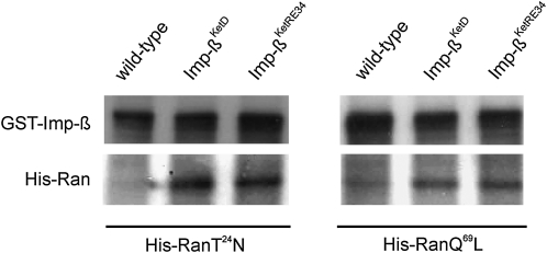 Imp-β KetD and Imp-β KetRE34 bind RanGDP and RanGTP with a higher affinity than wild-type Imp-β. His-RanT 24 N (left panel) and His-RanQ 69 L (right panel) proteins, representing the GDP- and GTP-bound forms, respectively, were expressed in bacteria, purified, and subsequently added to wild-type embryonic protein extract. Aliquots of both mixtures were incubated with GST-Imp-β, and either GST-Imp-β KetD or GST-Imp-β KetRE34 fusion proteins immobilized on Glutathione Sepharose beads. Proteins bound to the beads were analyzed by SDS-PAGE and immune-detected on Western blot with anti-Ran and anti-Imp-β antibodies.