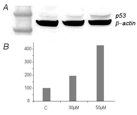 Western Blot analyses of explants treated with nutlin-3 reveal a concentration dependent increase of the amount of p53 . A: Western Blot analysis of p53 of explants from an UL (case 700-1) treated with 30 μM and 50 μM nutlin-3 for 72 h shows a concentration-dependent increase of the amount of p53. Lane 1: marker SeeBlue Plus2 Pre-Stained Standard (Invitrogen, Karlsruhe, Germany), lane 2: control without nultin-3, lane 3: 30 μM nutlin-3, lane 4: 50 μM nutlin-3 (left to right). B: p53 protein expression determined after immunoblotting (c.f. A) by ImageJ (as described in the materials and methods section) against beta-actin. Control was set 100%. Ordinate: % change of p53 expression compared to control.
