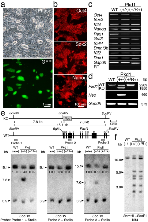 Screening of mutation-restored (Pkd1(+/R+)) iPSCs from iPSCs heterozygous for Pkd1 knockout (KO) (Pkd1(+/−)). a, Normal colony morphology of Pkd1(+/−) iPSCs expressing fluorescence marker protein, GFP. b, Expression of pluripotent marker proteins, Oct4, Sox2, and Nanog in Pkd1(+/R+) iPSCs by immunohistochemical analyses. c, Transcription of pluripotent marker genes in Pkd1(+/−) and Pkd1(+/R+) iPSCs by RT-PCR analyses. d, Secondary screening of Pkd1(+/R+) iPSCs by genomic PCR analyses. e, Verification of replacement of the KO allele by the wild-type (WT) allele through spontaneous mitotic recombination in Pkd1(+/R+) iPSCs by Southern blot hybridization analyses. Relative intensity is noted under the 15.1 kb band. f, Determination of the origin of Pkd1(+/R+) iPSCs by Southern blot hybridization.