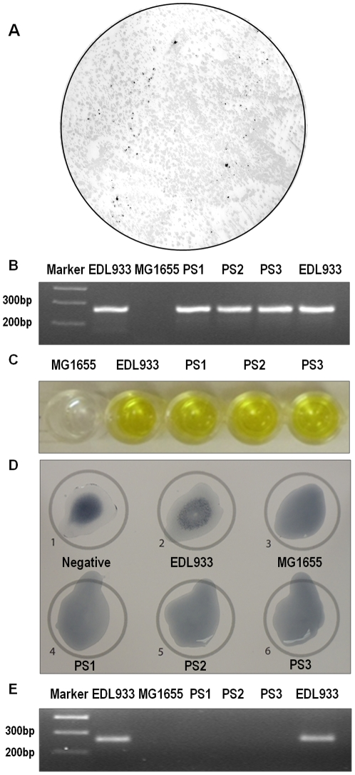 Confirmation tests on newly converted STEC. (A) Representative picture of in situ colony hybridization with DIG labeled stx 2A probe; (B) PCR confirmation of stx 2A gene in newly converted STEC strains (PS1–PS3); (C) ELISA detection of Shiga toxins; (D) O157 serotyping of newly converted STEC; (E) PCR confirmation of O157 gene was absent in newly converted STEC strains (PS1–PS3).