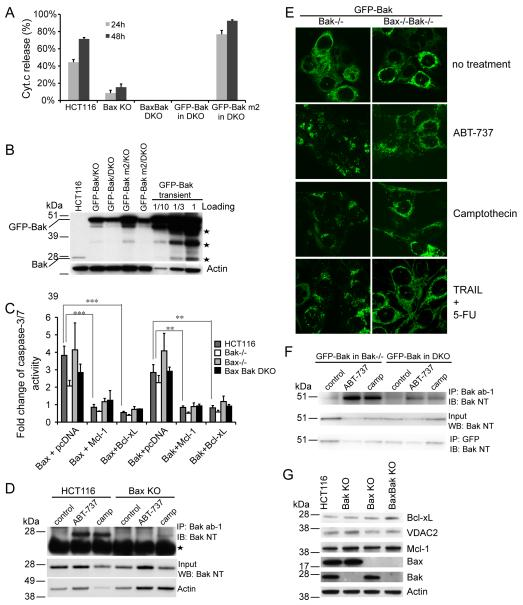 Interdependence of Bak and Bax activation. (A) A Bak mutant (m2, I85A/N86A) that fails to be bound by Bcl-xL and Mcl-1 sensitizes BaxBak DKO cells to camptothecin. GFP-Bak or GFP-Bak m2 was stably expressed in BaxBak DKO cells. Cells were treated with 1 μM camptothecin and Cyt.c release was examined. The experiment was repeated twice and representative data were shown as average±SD. (B) Bak expression levels in transiently expressed or stably expressed cells shown by Western blotting. Asteries indicate degraded Bak bands. (C) Caspase-3/7 acitivity was measured in indicated cell lines transiently transfected with GFP-Bax, GFP-Bak or in combination with GFP-Mcl-1 or GFP-Bcl-xL (1:3 ratio of DNA amount). Fold change was normalized with cells transfected with GFP-C1 vector control. The experiment was repeated twice and representative data were shown as average±SD. (D) Bak activation occurs normally in wild type cells in response to camptothecin and ABT-737 treatment detected by immunoprecipitation with anti-Bak (ab-1) antibody. Asteria indicates the light chain of Ig. (E) Bak activation indicated by Bak foci. GFP-Bak was stably expressed in Bak KO and BaxBak DKO cells. Cells were treated with 20 μM ABT-737, 1 μM camptothecin or 50 ng/ml TRAIL plus 375 μM 5-FU in the presence of 10 μM Q-VD for 24 h. (F) Bak activation in GFP-Bak stably expressing cells. Cells were treated and immnuoprecipitated as in (D). (G) Bcl-xL, VDAC2 and Mcl-1 express normally in Bax KO and Bak KO cells. The p-value was obtained using the Student's t-test.*, p