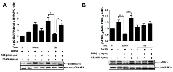 Phosphorylated and total protein expression levels of p38 MAPK and ERK1/2 in MDA-MB-231 cell line treated with specific inhibitors for these MAPKs and stimulated with TGF-β1 for different periods of time . (A) MDA-MB-231 cells were pre-treated with 20 μM of PD98059 (specific ERK1/2 pharmacological inhibitor) for 1 h and then stimulated with 10 ng/mL TGF-β1 for different periods of time (0, 10 min and 3 h). Total protein lysates from these samples were used to analyze the protein expression levels of total and phosphorylated forms of p38 MAPK by Western blotting. (B) The phosphorylated and total protein expression levels of ERK 1/2 were measured by Western blotting in MDA-MB-231 cells pre-treated with 20 μM of SB203680 (p38 MAPK pharmacological specific inhibitor) for 1 h and stimulated with 10 ng/mL TGF-β1 for 0, 30 min and 1 h. These results were analyzed and used to calculate the p-p38 MAPK/total p38 MAPK and p-ERK1/2/total ERK1/2 ratios, respectively. Results are presented in graphics as mean ± standard errors from three independent experiments. The Western blotting figures are representative of one experiment. *, p