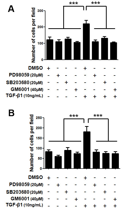 In vitro migration (A) and invasion (B) capacities of the MDA-MB-231 cell line upon treatment with TGF-β1 and inhibitors of ERK1/2, p38 MAPK and MMPs . MDA-MB-231 cells were pre-treated for 1 h with 20 μM of either PD98059 or SB203680 (ERK1/2 and p38 MAPK pharmacological inhibitor, respectively) or with 40 μM of GM6001 (a broad-spectrum MMPs inhibitor). After the inhibition treatment these cells were stimulated with 10 ng/mL TGF-β1 and allowed to migrate through uncoated transwells for 8 h (A) or invade through matrigel-coated transwells for 24 h (B). The number of cells at the bottom of the transwell filters was counted at the end of each assay. Results are presented as means ± standard errors from three independent experiments, performed in duplicate, all versus control (cells treated with DMSO, vehicle).