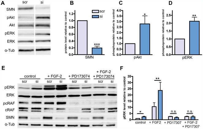 Western blot analysis of NSC34-cells after SMN-knockdown. ( A ) Phosphorylation of FGF-downstream targets Akt and ERK was analyzed in siRNA treated (si) and scrambled siRNA (scr) transfected cells. Phospho-antibodies against Akt (pAkt, S473), and ERK1/2 (pERK, T202,T204) were used to quantify changes in phosphorylation levels compared to non-phosphorylated Akt, ERK. Four independent experiments with three replications were performed. ( B ) Densitometrical measurements of SMN-bands normalized by α-tubulin showed an efficient knockdown of 20±5% in comparison to control-siRNA-transfected cells. ( C ) pAkt normalized to non-phosphorylated Akt was upregulated by a factor of 2.8±0.7. ( D ) pERK normalized to non-phospho-ERK was upregulated by a factor of 2.1±0.3. ( E ) The functional link between FGFR-1 signaling and ERK-hyperphosphorylation was analyzed by application of the specific FGFR-1 inhibitor PD173074 (50 µM). Additionally, FGF-2 was added to the medium in a final concentration of 50 ng/ml. ( F ) Densitometrical measurements of pERK normalized to non-phospho ERK revealed an upregulation of 10.6±3.1 fold in scrambled siRNA transfected cells under FGF-2 incubation compared to scrambled siRNA transfected control conditions. When transfected with SMN siRNA, the pERK level rises up to 23.7±0.6 fold change. These differences disappeared after PD173074 incubation. Bars and values represent means with standard error of mean (SEM). Significance was tested via repeated measurements two-way ANOVA (B, C, D, n = 4, ***p