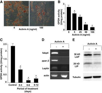 Inhibition of hMADS cells adipogenesis by activin A. A and B : hMADS3 cells were induced to undergo adipocyte differentiation in the absence or presence of the indicated concentrations of activin A. Twelve days later, adipogenesis was assessed by Oil red O for lipid droplets staining ( 34 ) and by GPDH activity ( 35 ). C : hMADS3 cells were induced to undergo adipocyte differentiation and treated with 100 ng/ml activin A for the indicated time intervals. GPDH activity was determined at day 12. Results are means of three culture wells (24-well plates). Values are means ± SEM ( N = 3). *Significant differences in GPDH activities in treated cells vs. controls. Similar results were obtained with hMADS2 cells and with hMADS7–B7 and -B9 clones. D : Effects of activin A on the expression of adipogenic genes. hMADS3 cells were induced to undergo differentiation in the absence or presence of 100 ng/ml activin A. RNAs were prepared 6 days after induction of differentiation and expression was investigated by semiquantitative PCR. E : Effects of activin A on the expression of <t>C/EBPb-LAP</t> and -LIP isoforms. hMADS3 cells were induced to undergo differentiation in the absence or presence of 100 ng/ml activin A. Proteins were prepared 6 days after induction of differentiation. LAP and LIP isoforms were examined by Western blot analysis using 25 μg total proteins per lane and <t>anti-C/EBPβ</t> antibodies. Similar results were obtained when proteins were prepared 3 days after induction of differentiation (supplementary Fig. S6). The approximate molecular weight of C/EBPβ isoforms is indicated. The 14 kDa C/EBPβ proteolytic degradation product was not detected. Tubulin was used as a loading control. Samples were run on the same gel. (A high-quality digital representation of this figure is available in the online issue.)