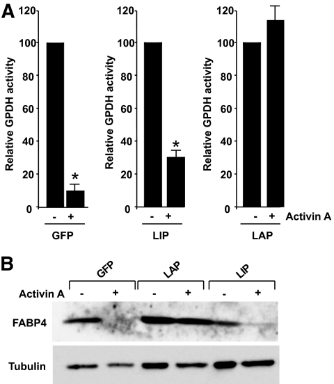 Suppression of antiadipogenic effects of activin A by C/EBPβ-LAP forced expression. A : hMADS3-EcoRec cells were infected with retroviral vectors expressing GFP, C/EBPβ-LAP, or C/EBPβ-LIP and induced to differentiate into adipocytes in the absence or presence of 100 ng/ml activin A. Adipogenesis was assessed 6 days later by GPDH activities. GPDH activity obtained in the absence of activin A for each transduced cells was taken as 100%. Results are means of three culture wells (24-well plates). Values are means ± SEM ( n = 3). *Significant differences between treated versus untreated cells. B : Western blot analysis of FABP4 in the absence or presence of activin A. Samples were run on the same gel.