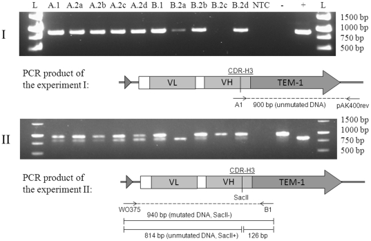 Colony PCR analysis of the progeny of two primary clones (A.1 and B.1) originating from the Kunkel mutagenesis of CDR-H3 loop. (I) PCR with wild-type-template- specific primer A1 and pAK400rev. 900 bp product is formed, if template is present. (II) SacII digestion analysis of PCR products (940 bp) primed with WO375 and B1 that hybridize outside the CDR-H3 loop. Both wild-type and mutated DNA is amplified, but only the wild-type DNA is cut to 814 bp and 126 bp fragments. (A.2a–d) Daughter colonies of A.1; (B.2a–d) Daughter colonies of B.1; (−) SacII resistant control, (+) SacII sensitive control, (L) 1 kb Fermentas DNA Ladder bands 1500–500 bp.
