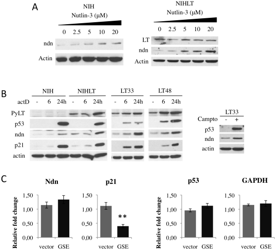 PyLT-induced Necdin expression is p53-independent. Necdin is induced following activation of p53. (A) Dose response treatment with nutlin-3 increased Necdin protein level in NIH (left) and NIHLT (right). (B) Genotoxic stress induced by Actinomycin D and Camptothecin also stimulated Necdin protein expression. (C) In NIHLT cells, Necdin expression is not dependent on p53 activity as assessed by p53 inhibition. Mean of relative expression of Necdin, p21, p53 and GAPDH in NIHLT cells with or without the p53 inhibitor GSE22. Expression was measured by Q-PCR in three independent samples from each group. Expression is relative to actin (** P