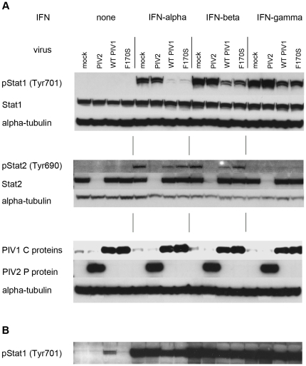 "Western blot of total and phosphorylated Stat1 and Stat2 in WT or F170S HPIV1-infected Vero cells following treatment with IFN-α, -β, or -γ. Vero cells were mock-infected or infected with WT HPIV1, F170S HPIV1, or HPIV2 at an MOI of 5 TCID 50 /cell. After 48 h, cells were mock-treated or treated for 30 min with 1000 IU/ml of the indicated IFN. A) Western blots were probed for total or phosphorylated (p)Stat1 and Stat2, as well as for the HPIV1 C protein and HPIV2 P protein. Alpha-tubulin was used as loading control. B) Extended exposure (over night) of the top panel in Figure 2A [""pStat1 (Tyr701)""], showing that a low level of pStat1 is detected in cells infected with WT HPIV1 in the absence of IFN treatment."