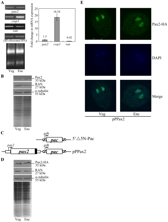 Analysis of pax2 gene expression. (A) RT-PCR and quantitative real-time PCR analysis of pax2 gene expression. RNA samples were prepared from G. lamblia wild-type non-transfected WB cells cultured in growth (Veg, vegetative growth) or encystation medium and harvested at 24 h (Enc, encystation). RT-PCR was performed using primers specific for pax2 , cwp1 , ran , and 18S ribosomal RNA genes. Ribosomal RNA quality and loading controls are shown in the bottom panel. Representative results are shown on the left. Real-time PCR was performed using primers specific for pax2 , cwp1 , ran and 18S ribosomal RNA genes. Transcript levels were normalized to 18S ribosomal RNA levels. Fold changes in mRNA expression are shown as the ratio of transcript levels in encysting cells relative to vegetative cells. Results are expressed as the means ± standard error of at least three separate experiments (right panel). (B) Pax2 protein levels in different stages. The wild-type non-transfected WB cells were cultured in growth (Veg, vegetative growth) or encystation medium for 24 h (Enc, encystation) and then subjected to SDS-PAGE and Western blot. The blot was probed by anti-Pax2, anti-RAN, or anti-α tubulin antibody. Representative results are shown. Equal amounts of protein loading were confirmed by SDS-PAGE and Coomassie blue staining. (C) Diagrams of the 5′▵5N-Pac and pPPax2 plasmid. The pac gene (open box) is under the control of the 5′- and 3′-flanking regions of the gdh gene (striated box). In construct pPPax2, the pax2 gene is under the control of its own 5′-flanking region (open box) and the 3′-flanking region of the ran gene (dotted box). The filled black box indicates the coding sequence of the HA epitope tag. (D) Pax2 protein levels in pPPax2 stable transfectants. The pPPax2 stable transfectants were cultured in growth (Veg, vegetative growth) or encystation medium for 24 h (Enc, encystation) and then subjected to SDS-PAGE and Western blot. HA-tagged Pax2 protein was detected usi