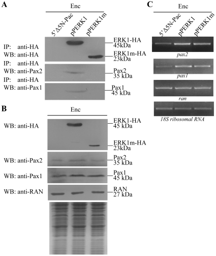 Interaction between ERK1 and Pax2 (or Pax1). (A) Co-immunoprecipitation assay. The 5′Δ5N-Pac, pPERK1, and pPERK1m stable transfectants were cultured in encystation medium for 24 h. Proteins from cell lysates were immunoprecipitated using anti-HA antibody conjugated to beads. The precipitates were analyzed by Western blot with anti-HA, anti-Pax2, or anti-Pax1 antibody as indicated. (B) Expression of HA tagged ERK1, Pax2, and Pax1 proteins in whole cell extracts. The 5′Δ5N-Pac, pPERK1, and pPERK1m stable transfectants were cultured in encystation medium for 24 h (Enc, encystation) and then subjected to Western blot analysis. The blot was probed by anti-HA, anti-Pax2, anti-Pax1, and anti-RAN antibody. Equal amounts of protein loading were confirmed by SDS-PAGE and Coomassie blue staining. (C) RT-PCR analysis of gene expression in the ERK1- and ERK1m-overexpressing cell line. The 5′Δ5N-Pac, pPERK1, and pPERK1m stable transfectants were cultured in encystation medium for 24 h (Enc, encystation) and then subjected to RT-PCR analysis. PCR was performed using primers specific for pax2 , pax1 , ran , and 18S ribosomal RNA genes.