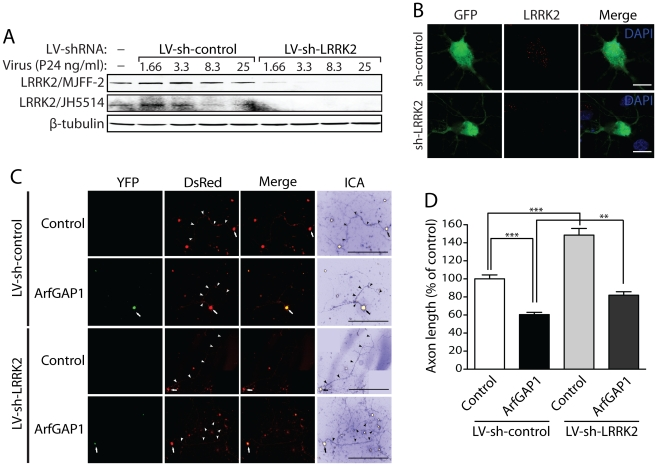 Silencing of LRRK2 expression rescues ArfGAP1-induced neurite shortening. (A) Validation of short hairpin <t>RNA</t> <t>(shRNA)-mediated</t> silencing of endogenous LRRK2 expression in rat primary cortical neuronal cultures. Lentiviral vectors expressing non-silencing shRNA (LV-sh-control) or LRRK2-specific shRNA (LV-sh-LRRK2) were used to infect primary neurons at increasing viral doses ranging from 1.66 to 25 ng of P24 antigen per ml of media. Western blot analysis of neuronal extracts reveals the viral dose-dependent knockdown of LRRK2 with LRRK2-specific shRNAs but not control shRNA using two independent rabbit LRRK2 antibodies (MJFF-2/c41-2 or JH5514). β-tubulin indicates equivalent protein loading. (B) Silencing of endogenous LRRK2 expression in GFP-labeled cortical neurons with lentiviral-shRNA vectors revealed by confocal fluorescence microscopy with a rabbit anti-LRRK2 antibody (JH5514). (C) Primary cortical neurons were infected with lentiviral vectors expressing shRNAs (non-silencing control or LRRK2-specific) at DIV 2, subsequently transfected with ArfGAP1-YFP and DsRed constructs at a 10∶1 molar ratio at DIV 3, and fixed at DIV 6. Fluorescent microscopic images reveal the co-labeling of cortical neurons with ArfGAP1-YFP and DsRed. DsRed images were pseudo-colored with ICA for neurite length measurements. Neuronal soma ( arrows ) and axonal processes ( arrowheads ) are indicated. Scale bars: 400 µm. (D) Analysis of DsRed-positive axonal processes reveals a robust shortening of axons induced by ArfGAP1 expression and increased axon length induced by silencing of LRRK2 with LV-sh-LRRK2 vector, compared to DsRed alone (control). Silencing of LRRK2 with LV-sh-LRRK2 produces a partial rescue of ArfGAP1-induced axon shortening compared to LV-sh-control. Bars represent mean (± SEM) length of axons expressed as a percent of DsRed alone (control/LV-sh-control) from > 85 DsRed-positive neurons from two independent experiments/cultures. ** P