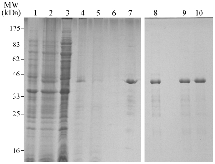 Expression, Purification and Refolding of recombinant CApy. The electrophoretic analysis (SDS-PAGE, 12% PAA under reducing conditions) shows extracts of non-induced and induced E. coli cultures (lane 1 and 2) bearing the CApy gene in the pTriEx-4 expression vector from samples taken at different steps of protein purification (lanes 3–10). Following bacterial cell lysis the soluble (supernatant, lane 3) and insoluble (pellet, lane 4) fractions show that CApy was mostly found in the insoluble fraction in form of inclusion bodies (IBs). The solubilized IBs (see Materials and Methods ) were loaded onto a Ni 2+ chelate column and purified under denaturing conditions, flow-through (lane 5), wash (lane 6), and elution (lane 7) fractions were collected. The eluate containing the purified CApy was refolded by dialysis against folding buffer (lane 8), which was subsequently dialysed against PBS, pH 7.4 (lane 9) or 20 mM MOPS, pH 7.4 (lane10).
