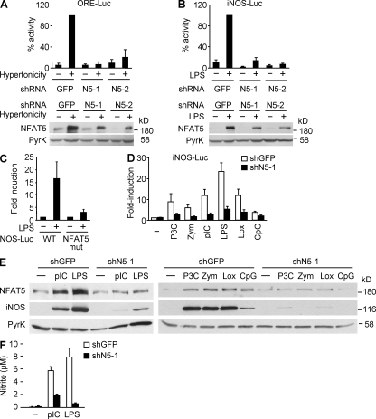 NFAT5-dependent activation of the Nos2 promoter and iNOS induction. Activity of the hypertonicity-responsive ORE-Luc reporter (A) and the LPS-responsive mouse Nos2 promoter (iNOS-Luc; B) in RAW 264.7 cells cotransfected with a short hairpin RNA (shRNA) vector specific for GFP or two independent NFAT5-specific shRNA vectors (N5-1 and N5-2), together with the control reporter plasmid TK-Renilla. Luciferase was measured 20 h after hypertonicity treatment (500 mOsm/kg) or LPS stimulation (25 µg/ml), normalized to TK-Renilla, and represented as percentage of reporter activity with respect to cells transfected with shGFP and stimulated (100%). Graphs show the mean ± SEM of four independent experiments. Bottom panels show the Western blot for NFAT5 done in parallel to the reporter assays. Pyruvate kinase (PyrK) is shown as loading control. Results are representative of three independent experiments. (C) Activity of WT mouse Nos2 promoter construct (WT) or an NFAT5-binding site mutant (NFAT5 mut) in RAW 264.7 cells after 20 h of LPS stimulation. Luciferase activity normalized to TK-Renilla is represented as fold induction relative to the reporter activity in unstimulated cells. Graphs show the mean ± SEM of three independent experiments. (D) Activation of the Nos2 promoter in response to different TLR agonists was measured in RAW 264.7 cells cotransfected with the iNOS-Luc and TK-Renilla reporters plus either shGFP or shN5-1 vectors. Transfected cells were stimulated for 20 h with 1 µg/ml Pam3CSK4 (P3C), 300 µg/ml zymosan A (Zym), 100 µg/ml poly I:C (pIC), 25 µg/ml LPS, 1 mM loxoribine (Lox), or 1 µM CpG oligodeoxynucleotide (CpG). Luciferase activity normalized to TK-Renilla is represented as fold induction over the reporter activity in unstimulated cells (−). Graphics show the mean ± SEM of three independent experiments. (E) RAW 264.7 cells transfected with either shGFP or shN5-1 vectors were left untreated or stimulated with different TLR ligands as in D. Expression of N