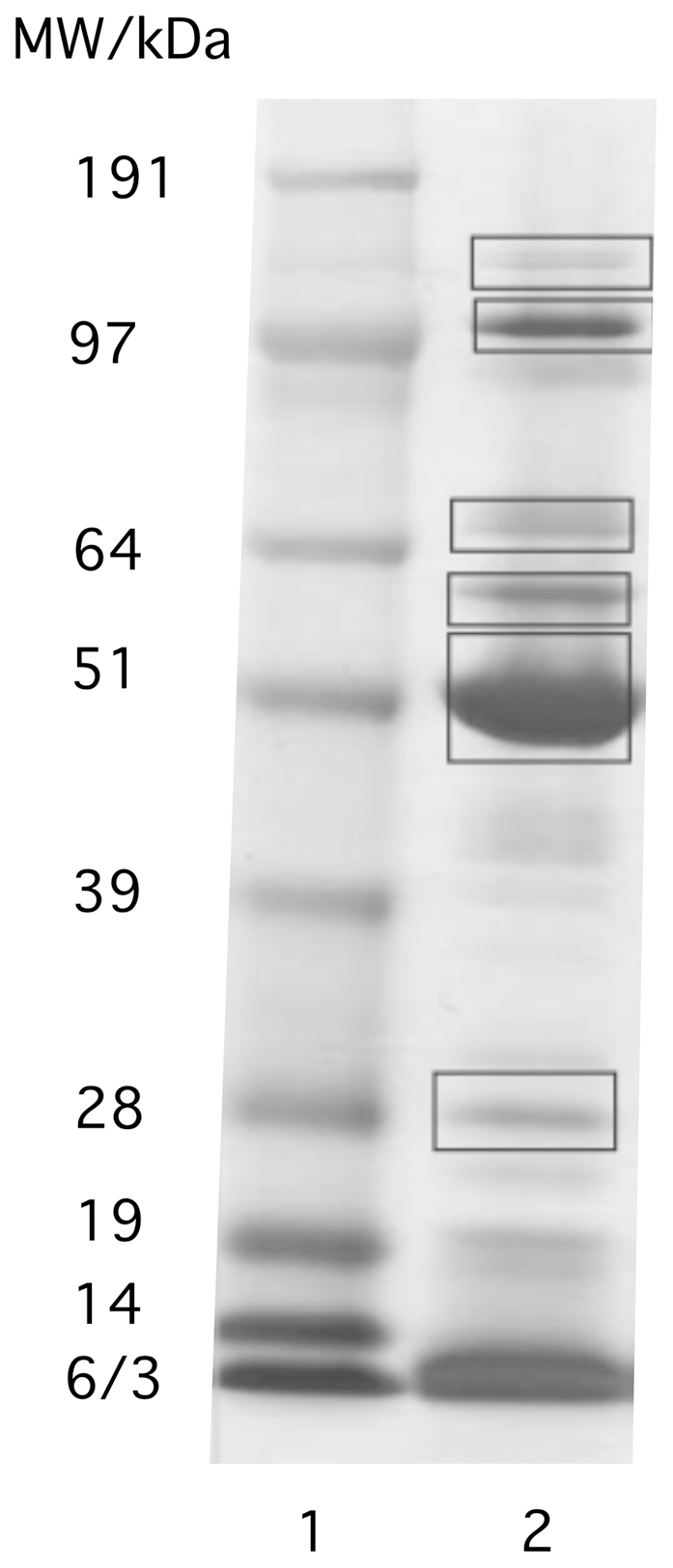 SDS-PAGE pattern of proteins associated with PBCV-1 DNA. DNA was released from capsids by osmotic shock and separated from soluble proteins by centrifugation. The DNA-containing pellet was treated with DNase to release DNA-bound proteins. The framed bands were excised and used for MALDI TOF analysis. Lane 1: weight marker, lane 2: proteins obtained after DNAse treatment.