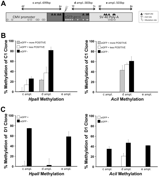 HpaII and AciI methylation analyses of integrated eGFP in C1 and D1 clones. A) Experimental design showing the amplicon regions and their length within eGFP locus integrated in genomic DNA. HpaII and AciI site are indicated. B) Densitometric analyses of parental C1 clone methylation pattern on eGFP + more positive, eGFP + less positive and eGFP − cells (see also Fig. S9B and Fig. S10B ). ANOVA test gave a statistical significance of p