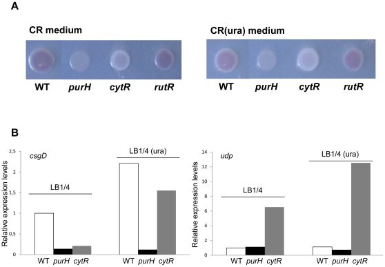 Congo red binding by E. coli strains deficient in pyrimidine sensing ( cytR and rutR mutants) and purine biosynthesis ( purH mutant). 4A. The MG1655 strain and its isogenic mutants in the purH , cytR and rutR genes were spotted either on CR medium (left panel) or on CR(ura) medium (right panel) and grown for 24 hours at 30°C. Plates were incubated for 48 hours at 4°C to enhance Congo red binding. Determination of transcript levels. 4B. Relative expression of either the csgD gene (left panel) or the udp gene (right panel) was determined by Real-Time PCR on RNA extracted from overnight cultures of MG1655 and of its isogenic purH and cytR mutants. 16S RNA transcript was used as reference gene. Δ Ct values between the genes of interest and 16S RNA were set at 1 for MG1655 in LB1/4 medium, and transcript levels in other strains and/or growth conditions are expressed as relative values. Experiments were repeated at least three times, each time in duplicate; standard deviations were always lower than 5%.