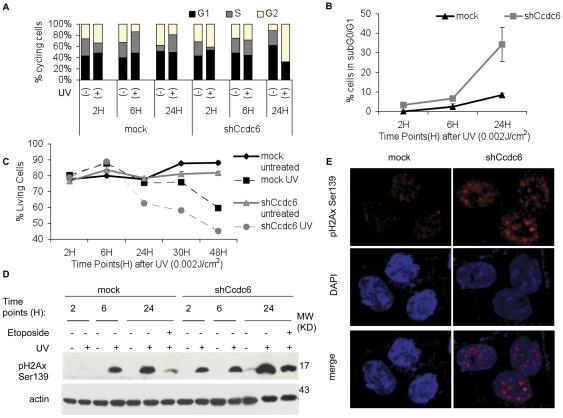 Knock down of CCDC6 increases vulnerability to genotoxic stress by UV induced DNA damage. HCT116 cells were transduced with CCDC6 shRNA expressing lentivirus or empty control followed by UV irradiation (0.002 J/cm 2 ), 48 hours after transduction. Cells were harvested at 2, 6 and 24 hours after irradiation and analyzed for the cell cycle using flow cytometry. The percentages of the cell populations in each phase of the cell cycle for every time point are depicted as bars in the diagram ( A ). In control cells, UV irradiation results in G 1 and S phase increase while in CCDC6 knock down cells UV irradiation causes a reduction of cell population in S phase and an increase in G 2 phase. A representative experiment is shown. ( B ) The apoptotic levels were measured by flow cytometric assessment of the subG 0 /G 1 population. Knock down of CCDC6 increase UV-mediated cell death. ( C ) Cell survival analysis by Po-PRO and 7-ADD staining (excluding the double positive cells) revealed a significantly decreased cell survival of cells lacking CCDC6. Error Bars represent 3 independent experiments. ( D ) Cell lysates of HCT116 cells treated with etoposide (20 µM) or radiated with UV (0.002 J/cm 2 ) for 2, 6 or 24 hours and the untreated controls were resolved on a SDS-PAGE and probed for pH2Ax Ser139. Upon UV irradiation, pH2Ax Ser139 levels arise earlier and to a higher extent in CCDC6 knock down cells compared to the control. UV irradiation is causing high levels of pH2Ax Ser139 even in 2 hours after irradiation in CCDC6 knock down cells. The effect is similar upon etoposide treatment, although less dramatic. ( E ) Increased basal levels and nuclear foci of pH2Ax Ser139 are present in CCDC6 knock down cells, even in the absence of any additional treatment.