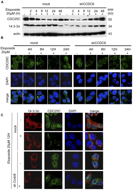 CCDC6 knock down results in altered cellular localization of CDC25C and accelerated G 2 /S transition upon etoposide-mediated genotoxic stress. Control and CCDC6 knock down HCT116 cells were treated with etoposide (20 µM). ( A ) Cell lysates of HCT116 cells treated with etoposide (20 µM) for 2, 4, 8, 12 and 24 hours and mock control treated with DMSO vehicle were resolved on a SDS-PAGE and probed for 14-3-3σ and CDC25C. 14-3-3σ protein levels were down-regulated in the absence of CCDC6 protein expression and the CDC25C protein level regulation was altered. ( B ) Cells grown on cover slips were exposed to etoposide for 4, 8, 12, 24 hours, fixed and stained for CDC25C. In mock cells, CDC25C is kept in the cytosol upon etoposide treatment at 8 and 12 hours but is localized in the nucleus in the absence of CCDC6. ( C ) Cells exposed to etoposide for 12 hours were co-stained for CDC25C and 14-3-3σ. CDC25C is kept in the cytosol upon etoposide treatment and exhibits co-localization with 14-3-3σ (seen in yellow) but enters the nucleus in the absence of CCDC6.