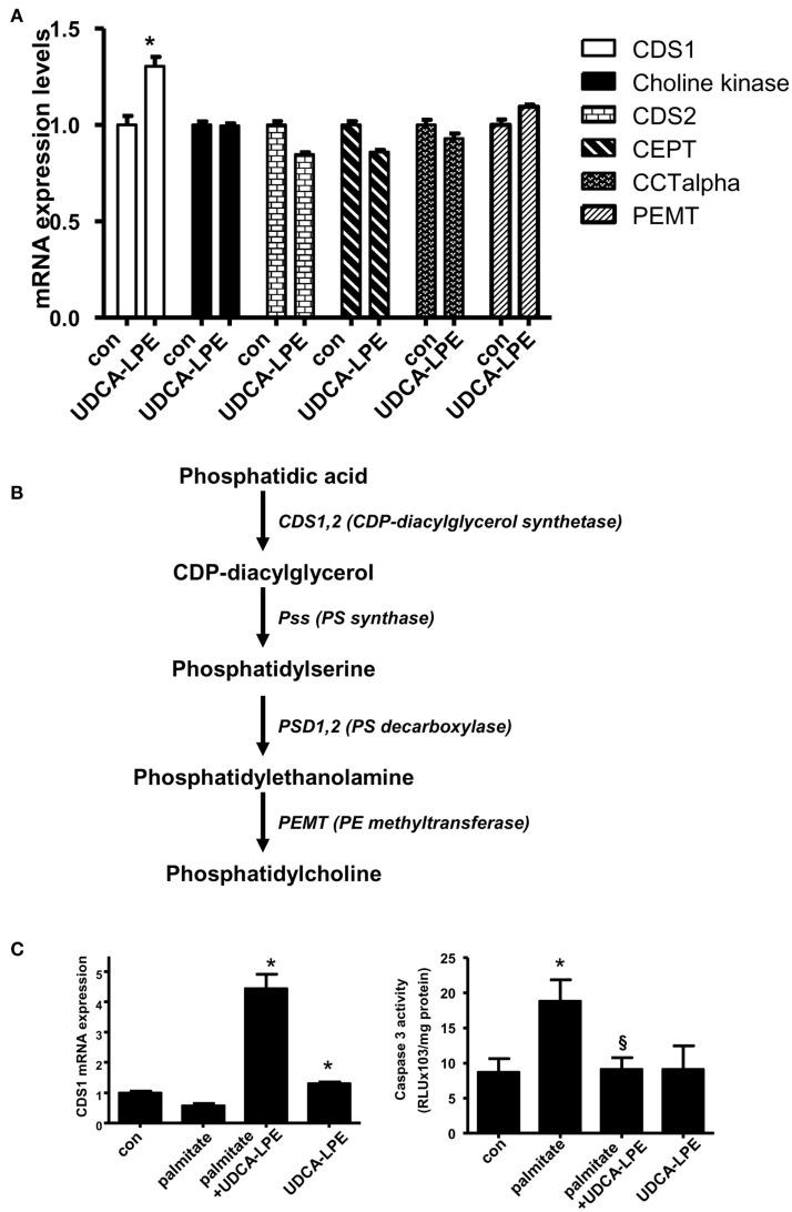 Ursodeoxycholyl lysophosphatidylethanolamide upregulated CDS1 gene concomitant with inhibition of apoptosis induced by palmitate . (A) Treatment of mouse hepatocytes with 60 μM UDCA-LPE for 20 h increased expression of CDS1 but failed to increase other PC synthesis genes including choline kinase, CDS2, CEPT2, CEPT, CCTalpha, and PEMT. Quantitative RT-PCR was performed by TaqMan ® RT-PCR with relative expression (Δ Rn ) of the target gene versus GAPDH mRNA. Data were representative data obtained from two different experiments. Data were mean ± SD, N = 4; * p