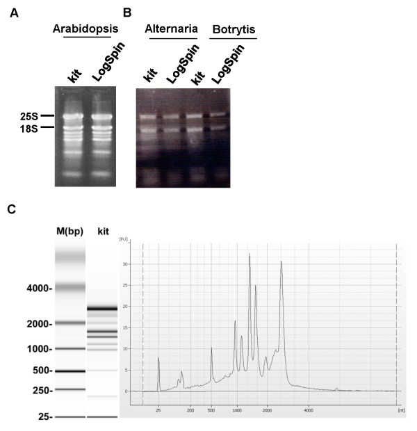 <t>RNA</t> separation on 1% agarose gel . A : RNA extracted from Arabidopsis leaves. Lane 1, RNA extracted using Qiagen <t>RNeasy</t> kit (kit) and lane 2, RNA extracted by LogSpin protocol. B : RNA extracted from B. cinerea (Botrytis) or A. brassicicola (Alternaria) mycelium. Lanes 1 and 3, RNA extracted using Norgen Plant/Fungi RNA Purification kit (kit). Lanes 2 and 4, RNA extracted using LogSpin protocol. C : Qualitative assessment of the integrity of a total RNA sample extracted using LogSpin protocol from tomato leaves by bioanalyzer. M (bp), DNA ladder in base pairs; kit, gel provided by the bioanalyzer kit.