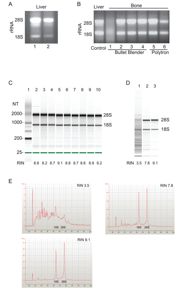 Extracting High Quality RNA from Bone in a Single Step . (A) Isolated liver RNA was incubated with RNase free beads (lane 1) or untreated beads (lane 2) provided by the manufacturer (Next Advance) for four hours before analyzing the 18S and 28S rRNA bands using agarose gel chromatography. Subsequent experiments with the Bullet Blender were carried out using untreated beads. (B) Bone RNA was homogenized in near freezing conditions using the Bullet Blender centrifuge (lanes 2-4) or a Polytron (lanes 5-6). The results are compared to bone RNA isolated using standard homogenization conditions (lane 1) and intact liver RNA that was previously isolated (control). (C) The RNA Integrity Number (RIN) for RNA homogenized in near freezing conditions was determined using the Agilent RNA 6000 Nano LabChip Kit and the Agilent 2100 Bioanalyzer. RNA with a RIN = 7 or greater is suitable for microarray analysis of gene expression. (D) The maximum RIN for the two-step approach (lane 2) is compared to the maximum RIN obtained in the one-step approach (lane 3) and each RIN is compared to the RIN of the degraded RNA sample (lane 1) shown in the agarose gel in lane 1, Figure 2B. (E) The electropherograms associated with the samples shown in (D).