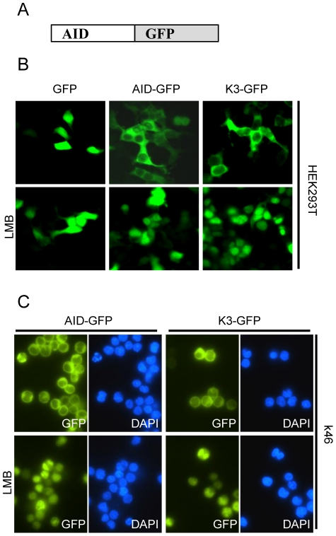 Subcellular localization of K3 is not different from wildtype <t>AID.</t> (A) Schematic representation of <t>AID-GFP</t> fusion constructs used for localization assays. GFP is fused to the C-terminus of AID or mutant K3. (B) HEK293T cells were transiently transfected with the respective GFP-fusion constructs. Two days post transfection, cells were treated as indicated with Leptomycin B (LMB) for 3 hours. Cells were fixed and localization of the respective GFP fusion proteins visualized using fluorescence microscopy. (C) The k46 B cell line stably expressing AID-GFP or K3-GFP fusion proteins were treated with or without Leptomycin B (LMB) for 3 hours and localization of GFP fusion constructs was determined using fluorescence microscopy.