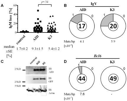 Somatic Hypermutation of IgV genes by wt AID and mutant K3. (A) Somatic hypermutation reflected as loss of IgM expression in AID −/− ΨV −/− IgM + DT40 cells. AID −/− ΨV −/− IgM + DT40 cells were stably transfected with plasmids encoding AID or K3 coupled to IRES-GFP expression. The percentage of sIgM-loss variants of GFP + cells is expressed as the median ± SE of multiple (n) independent clonal transfectants determined three weeks after transfection (untransfected control, n = 12; AID, n = 36; K3, n = 44). (B) Proportion of sequences carrying mutations in IgV genes of DT40 cells. IgV regions were cloned from cDNA of AID and K3 expressing DT40 transfectants. Segment sizes in the pie charts are proportional to the number of sequences carrying the number of mutations indicated in the periphery of each chart. The frequency of mutations per bp sequenced and the total number of independent sequences analyzed is indicated underneath and in the center of each chart, respectively. (C) The abundance of AID and K3 in DT40 transfectants was determined by Western blotting from cell extracts. Blots were reprobed for GFP expression and actin levels as loading control. (D) Proportion of sequences carrying Bcl6 mutations in AID deficient B cells retrovirally transfected with AID or K3 constructs, respectively. Bcl6 was cloned from genomic DNA of sorted mouse B cells, retrovirally transfected to express AID or K3, respectively. Pie charts were generated as described in (B).