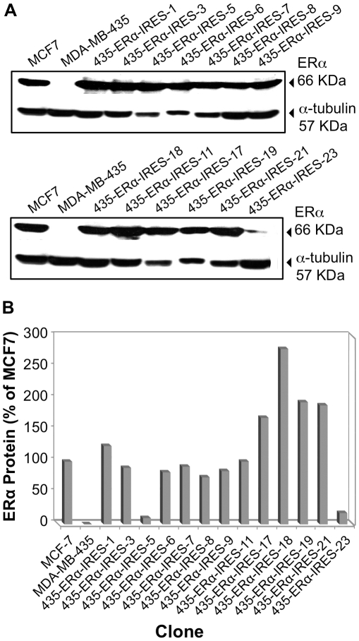 pERα-IRES MDA-MB-435 transfectants: Western immunoblot analysis of ERα protein. A. MDA-MB-435 cell clones selected for Hygromycin B resistance were lysed and ERα expression was tested by Western immunoblot analysis. ERα positive MCF-7 cell line was used as a positive control. MDA-MB-435 parental cell-line represented the negative control. B. Representation of ERα steady state expression values. The values of ERα expression were normalized to α tubulin expression in the cells.