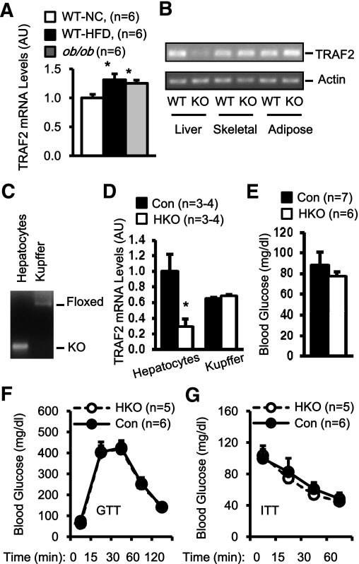 Hepatic TRAF2 is dispensable for glucose metabolism under normal conditions. A : TRAF2 <t>mRNA</t> abundance was measured in the liver by <t>qPCR</t> and normalized to 36B4 mRNA levels. WT-NC, wild-type mice fed a normal chow diet (14 weeks); WT-HFD, WT mice fed an HFD (14 weeks); ob/ob , leptin-deficient ob/ob mice (14 weeks); AU, arbitrary unit. B : Total RNAs were extracted from WT and HKO mice and used to measure TRAF2 transcription by RT-PCR. C : Genomic DNA was prepared from purified hepatocytes and Kupffer cells and subjected to PCR-based genotyping analysis. D : TRAF2 mRNA abundance was measured in purified hepatocytes and Kupffer cells by qPCR and normalized to 36B4 mRNA levels. E : Fasting (overnight) blood glucose levels in HKO and control male mice (23 weeks). F and G : GTTs ( d -glucose: 2 g/kg body wt) and ITTs (1 unit/kg body wt) were performed in HKO and control males at age 22–23 weeks. Data are mean ± SEM. * P