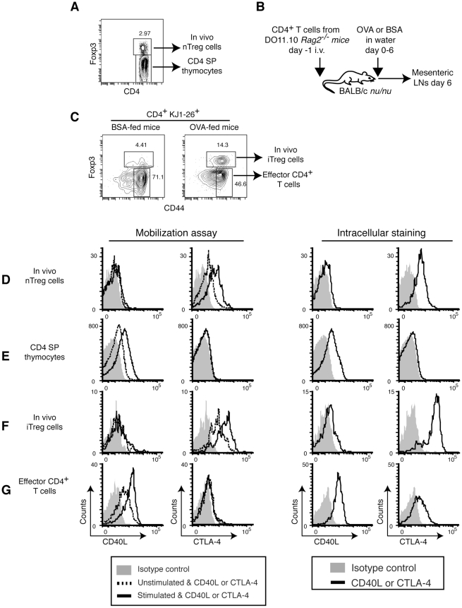 CD4 SP thymocytes, but not Treg cells, store and mobilize pCD40L. A , Gating strategy for thymic nTreg cells and CD4 SP thymocytes. B , Generation of in vivo iTreg cells. DO11.10 CD4 + T cells were recovered from OVA- or BSA-fed recipient mice on day 6. C , Gating strategy for in vivo iTreg cells and effector CD4 + T cells. A BSA-fed mouse is shown as a negative control. D , thymic nTreg cells; E , CD4 SP thymocytes; F , in vivo iTreg cells; and G , effector CD4 + T cells, are analyzed by the mobilization assay and intracellular staining for pCD40L and CTLA-4. Data are representative of three ( D and E ) or two ( F and G ) independent experiments.