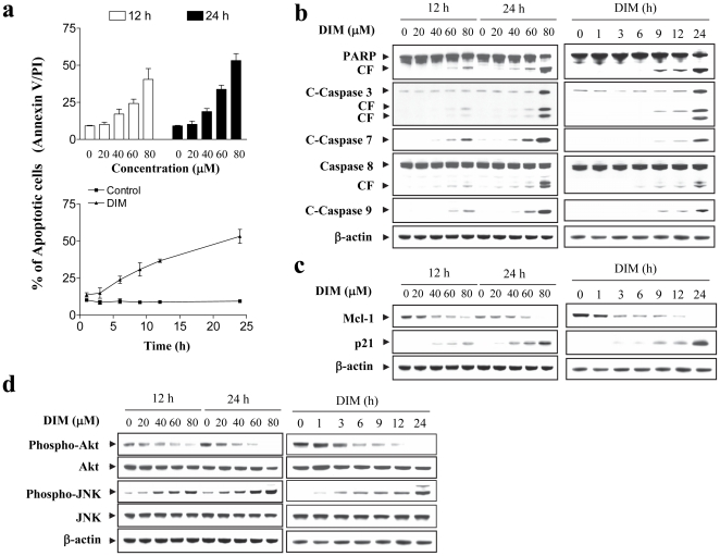 DIM induces apoptosis, caspase activation, downregulation of Mcl-1, upregulation of p21, inactivation of Akt, and activation of JNK in U937 human leukemia cells in dose- and time-dependent manners. U937 cells were treated with various concentrations of DIM as indicated for 12 h and 24 h or treated with 80 µM DIM for 1, 3, 6, 9, 12, and 24 h. (a) Cells were washed twice with PBS and stained with Annexin V/propidium iodide (PI), and apoptosis was determined using flow cytometry. Both early apoptotic (Annexin V-positive, PI-negative) and late apoptotic (Annexin V-positive and PI-positive) cells were included in cell death determinations. The values obtained from annexin V/PI assays represent the mean ± SD for three separate experiments. (b–d) Total cellular extracts were prepared and subjected to Western blot assay using antibodies as indicated.