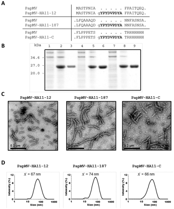 PapMV-HA11 recombinant proteins. The three PapMV-HA11 fusions produced have characteristics similar to those of PapMV nanoparticles. (A) The sequence of the PapMV-CP-HA11 proteins produced. (B) Bacterial lysate of the culture before induction (first lane), after induction with IPTG (second lane), and after successful purification with nickel beads, third lane, of PapMV-CP-HA11-12 (lane 1–3), 187 (lane 4–6) and C (lane7–9). (C)Transmission electron microscope images of each HA11 fusion. (D) Size of VLPs recorded by dynamic light scattering (DLS).
