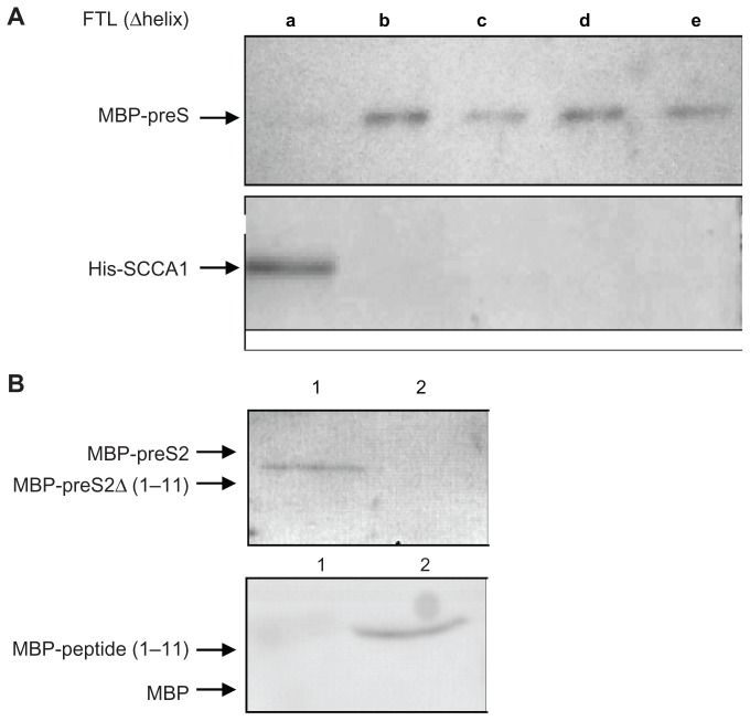 ( A ) Determination of regions on FTL for interaction with preS and SCCA1. GST-tagged FTL deletion mutant proteins, each with deletion of one of the five α-helices (a to e), were allowed to bind to MBP-preS and His-SCCA1, and absorbed with Gutathione–Sepharose TM beads. Proteins absorbed on Glutathione–Sepharose beads were subjected to Western blotting with anti-MBP antibody (detecting MBP-preS, upper), or with His-tag antisera (detecting His-SCCA1, down). ( B ) Verification of FTL-binding activity of N-terminal 1–11 amino acids of preS2. For the upper, pulldown assay was done by mixing GST-FTL with MBP-preS2 (lane 1) or MBP-preS2Δ (1–11) (deletion of N-terminal 1–11 amino acids of preS2, lane 2), and the proteins recovered by Glutathione–Sepharose beads were subjected to Western blot with anti-MBP antibody. For the down, pulldown assay was done by mixing GST-FTL with MBP (lane 1) or MBP-peptide (1–11) (MBP with the peptide of 11 amino acids from N-terminus of preS2, lane2), and the proteins recovered by Glutathione-Sepharose beads were subjected to Western blot with anti-MBP antibody. Abbreviations: FTL, ferritin light chain; MBP, maltose binding protein; SCCA1, squamous cell carcinoma antigen 1; GST, glutathione-S-transferase.