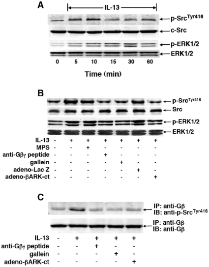 <t>Gβγ</t> signaling regulates IL-13-induced c-Src and ERK1/2 activation in HASM cells. ( A ) Immunoblots depicting IL-13-induced transient phosphorylation of c-Src Tyr416 and ERK1/2 in HASM cells, with peak phosphorylation detected at 10 and 30 min, respectively. ( B ) Immunoblots depicting that, contrasting the lack of effect of pretreatment with MPS alone, IL-13-induced phosphorylation of c-Src Tyr416 and ERK1/2 is suppressed in HASM cells pretreated with either anti-Gβγ peptide (20 µM) or gallein (10 µM). Additionally, in contrast to HASM cells transfected with <t>adeno-LacZ</t> (i.e., negative control), IL-13-induced phosphorylation of c-Src Tyr416 and ERK1/2 is also suppressed in HASM cells wherein Gβγ signaling is inhibited by transfection with adeno-βARK-ct. ( C ) Western blot depicting interaction of Gβ and c-Src Tyr416 in HASM cells stimulated with IL-13 in the absence and presence of inhibition of Gβγ activation. Following preparation of lysates from untreated and IL-13-treated (50 ng/ml×10 min) HASM cells, Gβ was immunoprecipitated (IP) with anti-Gβ monoclonal antibody, and subsequently immunoblotted (IB) with anti-phospho-c-Src Tyr416 antibody (see Methods ). Note, relative to untreated cells, association of Gβ and c-Src Tyr416 proteins was significantly increased in IL-13-treated HASM cells; and formation of this protein complex was suppressed in IL-13-exposed cells that were pretreated with either anti-Gβγ peptide (20 µM) or gallein (10 µM), and also suppressed in IL-13-exposed HASM cells that were transfected with adeno-βARK-ct. The immunoblots shown in A – C are representative from 3–4 experiments.