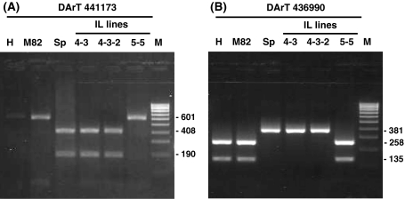 Digested-PCR products of DArT marker sequences reveal predicted polymorphisms and chromosomal locations. CAPs analysis of DArT marker sequences from parental and introgression lines. SYBR Safe-stained 2% TAE agarose gels highlighting the polymorphisms observed between Heinz, M82, S. pennellii and different IL lines DNAs. a Taq I digestion of PCR-amplified DNA corresponding to S. lycopersicum DArT marker 441173 using primers DArT39 and DArT40. b Mnl I digestion of PCR-amplified DNA corresponding to S. pennellii DArT marker 436990 using primers DArT41 and DArT42. Template DNA; S. lycopersicum cv. Heinz (H), S. lycopersicum cv. M82 (M82), S. pennellii ( Sp ), Introgression lines (IL), molecular weight Hyperladder IV (BIOLINE) (M)