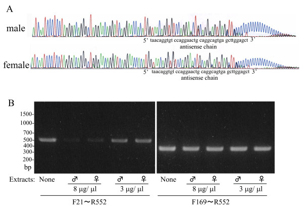 5' Rapid amplification of cDNA ends (RACE) analysis of kallikrein 1b26 (klk1b26) mRNAs from male and female submandibular glands (SMGs) and effect of incubation with SMG extracts on the mRNA . (A) Antisense chains of 5' RACE products were prepared and analyzed as described in Methods. Each signal is indicated by color: green = A; red, = T; black = G; blue = C. (B) Degradation of klk1b26 mRNA by incubation with the SMG extracts. Total RNA from male SMGs (21.5 μg) was incubated at 37°C for 30 min with an extract prepared from male or female mouse SMGs as described in Methods. After the incubation the total RNA was again purified with the Micro-to-Midi Total RNA Purification System (Invitrogen) and was eluted to 20 μl, quantitatively. First-strand DNAs were prepared with 280 ng of the total RNAs thus treated with SMG extracts and reverse transcription (RT)-PCR was carried out by using primer pairs F21/R552 or F169/R552. Representative results are shown. Similar results were obtained in three independent experiments. Quantitative determination of density of the PCR products was made by computer-assisted image analysis (NIH image; http://rsbweb.nih.gov/nih-image/ ). Relative densities of the PCR signals with total RNAs treated by 8 μg/μl each of male SMG extract and female SMG extract were estimated to be 7.36 ± 0.40 and 7.44 ± 0.51, respectively (mean ± SD; n = 3 each). There was no significant difference in the degrading activities for the mRNA between the male and female SMG extracts.