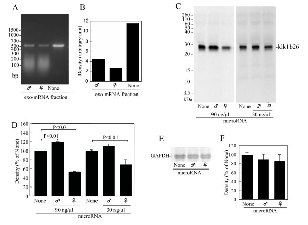 Effects of exo-mRNA fraction on reverse transcription (RT)-PCR for kallikrein 1b26 (klk1b26) mRNA and inhibition of klk1b26 translation by miRNA preparation from female submandibular glands (SMGs) . (A) Effect of exo-mRNA fraction on RT-PCR with a primer pair targeting the 5'-terminal region of klk1b26 mRNA. RT-PCR was carried out with the primer pair F21 forward and R552 reverse in the presence or absence of the exo-mRNA fraction (100 ng/μl) from male or female SMGs. (B) Quantitative determination of density of klk1b26 PCR products in Figure 4A was measured by computer-assisted image analysis (NIH image; http://rsbweb.nih.gov/nih-image/ ). Values are averages of the duplicate assay. (C, D) Inhibition of klk1b26 translation in vitro by miRNA preparation from female mouse SMGs. After the preincubation of mRNAs purified from male SMGs with miRNA preparation from male or female SMGs, the in vitro translation was performed and klk1b26 protein synthesized was analyzed as described in Methods. Representative results are shown. Similar results were obtained from three independent experiments (C). Quantitative determination of density of the [ 35 S]klk1b26 protein band. Values represent the mean ± SD (n = 3) of the relative density (D). (E) Representative autoradiograms of [ 35 S]methionine-labeled glyceraldehyde-3-phosphate dehydrogenase (GAPDH) protein on the SDS-PAGE gels. In vitro translation was performed as described in Methods. GAPDH protein was immunoprecipitated with anti-GAPDH antibody. (F) Quantitative determination of density of the [ 35 S]klk1b26 protein band. Values are the mean ± SD (n = 3) of the relative density.