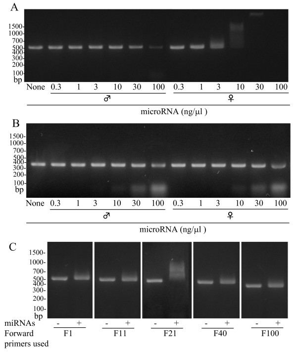 Effect of miRNA preparations on reverse transcription (RT)-PCR for kallikrein 1b26 <t>(klk1b26)</t> mRNA . (A,B) Effect of miRNA preparation on the PCR product formation. RT-PCR was performed with the F21/R552 primer pair targeting the 5'-terminal region of klk1b26 mRNA (A) or with the F169/R552 primer pair targeting the middle region of the mRNA (B) in the presence of the indicated concentrations of miRNA prepared from either male or female submandibular glands (SMGs). Representative results are shown, and similar results were obtained in three independent experiments. (C) Effect of female miRNA preparation on the PCR product formation using various forward primers targeting the 5'-terminal region. PCR was carried out with each forward primer in combination with the R552 reverse primer in the absence (-) or presence (+) of miRNAs prepared from female SMGs (10 ng/μl). Sequences of the primers used are indicated in Table 1. Representative results are shown. Similar results were obtained in three independent experiments.