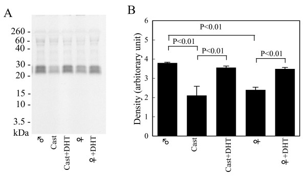 Effects of castration and 5α-dihydrotestosterone (DHT) administration on the activity in the submandibular gland (SMG) miRNA preparation interfering kallikrein 1b26 (klk1b26) translation . (A) MicroRNAs were prepared as described in Methods from SMGs of castrated mouse, DHT-administered castrated mouse and DHT-administered female mouse, respectively. One miRNA sample was prepared from SMGs from one mouse. The effects of these miRNA preparations (90 ng/μl each) on klk1b26 translation were analyzed as described in the legend for Figure 4C. Representative results are shown. Similar results were obtained in three independent experiments. (B) Quantitative determination of density of the [ 35 S]klk1b26 protein band by computer-assisted image analysis of the autoradiograms. Values represent the mean ± SD (n = 3 animals) of the relative density.