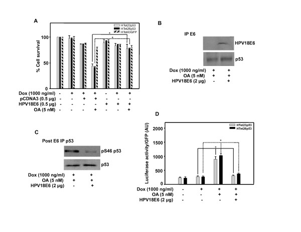 Overexpressed p53 is functionally impaired by HPV E6 . (A) HTet23p53, HTet26p53 or HTet43GFP cells were transfected with vector or HPV18 E6 plasmid and 18 h post transfection cells were treated with OA 1 h prior to Dox addition. MTT assay was performed after 48 h. Bar represents variations among the wells of an experiment done twice in triplicate. * Indicates P